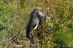 Nature's great masterpiece, an elephant; the only harmless great thing. Kwazulu Natal, Conservation, South Africa, Safari, Tourism, Wildlife, Coast, Elephant, Adventure Holiday