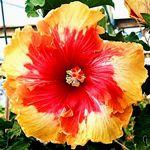 Exotic Hibiscus 'Over the Rainbow'