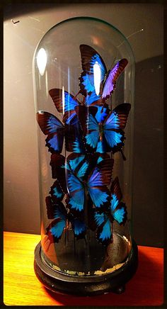 Globe curiosité 9 papillons Ulysse globe Napoléon III 19ème cloche en verre socle en bois noir antiquite vintage decoration antiquaire nord Lille bondues