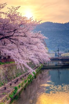 Cherry Blossom Trees and Sunset in Japan Beautiful World, Beautiful Places, Places Around The World, Around The Worlds, Sakura Cherry Blossom, Cherry Blossoms, All Nature, Blossom Trees, Japan Travel