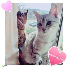 キジトラさん。。。外を見るのに必死過ぎて、ガラスに耳がピタってなってる…((笑 * * * *  #窓際の猫#猫#猫部#猫バカ#猫バカ部#にゃんだふるらいふ#にゃんすたグラム#猫が好き#我が家の猫#キジトラ#サバトラ#猫もふ団#catstagram#cat#やっぱり猫が好き#猫がいる生活#愛猫#近い#睨んでる#OFFショット#猫好きな人と繋がりたい