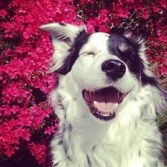 Lol. love this. laughing border collie