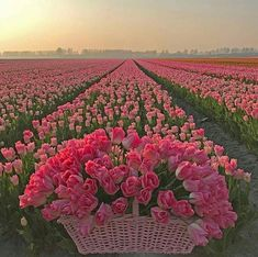 Image may contain: flower, plant and nature Best Meditation, Tulip Bulbs, Tulip Fields, Felder, Morning Flowers, Flower Farm, Belleza Natural, Flower Images, Flowers Nature