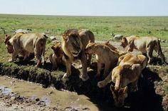 #Lions, #Serengeti