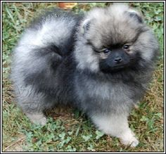 Comical And Sweet: The Pomeranian - Champion Dogs Puppies And Kitties, Baby Puppies, Cute Puppies, Cute Dogs, Wolf Sable Pomeranian, Pomeranian Puppy, Pom Dog, Super Cute Animals, Funny Animal Pictures