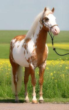 Un cheval pie palomino Cute Horses, Pretty Horses, Horse Love, Beautiful Creatures, Animals Beautiful, Cute Animals, Horse Photos, Horse Pictures, Cheval Pie