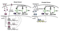 Researchers discover new species of tRNA responsible for sex-biased cancer proliferation.