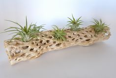 Air Plants on Rustic Cholla Wood 5 Air Plants on by WilliamsGrove Wood Centerpieces, Earthy Style, Air Plant Display, Driftwood Projects, Wood Images, Colorful Garden, Wood Pieces, In The Flesh, Plant Holders