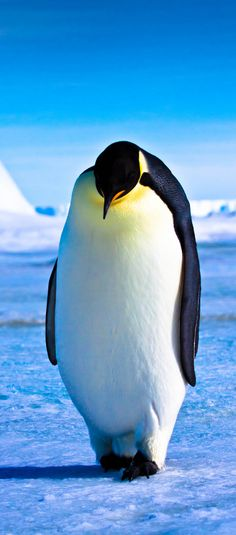 Emperor Waddle, Snow Hill Island, Antarctica #coupon code nicesup123 gets 25% off at  Provestra.com Skinception.com