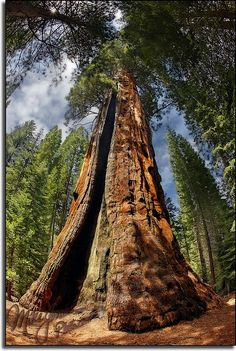 The Lost Grove in the Sequoia National Forest - photos tips guide collections Sequoia National Park, National Parks, National Forest, Giant Sequoia Trees, Sequoia Forest, Beautiful World, Beautiful Places, Old Trees, Nature Tree
