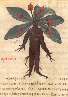 Mandrake (Mandragora) (detail) | De materia medica | Turkey, Istanbul | mid 10th century | The Morgan Library & Museum | #HarryPotter