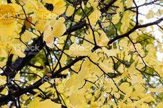 #autumn #yellowleaves #copyspace #editors #graphics #bloggers #stockphoto #magazine #designer #istockphoto file id 78727541 #iphonesia #editorial #editores #graficos #stockphoto #design # marisaperezdotnet