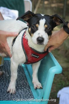 Georgia Jack Russell Rescue, Adoption and Sanctuary | Fritz
