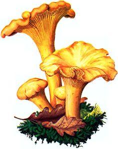 Mushroom Drawing, Mushroom Art, Mushroom Fungi, Botanical Drawings, Botanical Illustration, Botanical Prints, Wild Mushrooms, Stuffed Mushrooms, Fairy Paintings