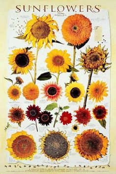 Learn all about different types of flowers, from roses and lilies to spring and wedding flowers with stunning photos and planting information. Sunflower Garden, Sunflower Art, Sunflower Types, Sunflower Quotes, Types Of Flowers, Cut Flowers, Happy Flowers, Beautiful Flowers, Exotic Flowers