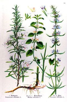 Rosmarinus officinalis; Melissa officinalis; Hyssopus officinalis, gravure