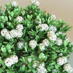 Raphiolepis Indica Alba - planted as back row of backyard garden; they should grow tall enough to cover the limestone wall and be a hearty, thick hedge. Limestone Wall, Popular Flowers, Plant Images, Herons, Sea Side, How To Grow Taller, Green Plants, Go Green, Flower Photos