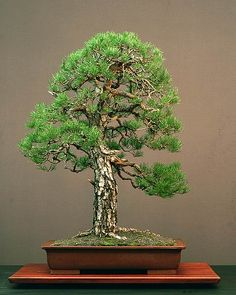In ancient times bonsai were usually enjoyed by aristocrats, priests, and other high-ranking people, but from around the seventeenth century, commoners began delighting in them, too.