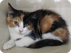 """Adopt a Pet :: CROCUS RIVERHEAD, NY -  Calico Mix Female kitten, spaed and UTD with shots.  This beautiful little lady will curl up in your lap and steal your heart!   Al LaFrance-Phone: 631 722-0015   E-mail: savesinc@aol.com   Let 'em know you saw """"Crocus"""" on Adopt-a-Pet.com!   Please take me home with you!"""
