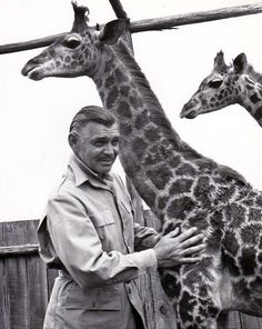 """Clark Gable with giraffes during his time in Africa while filming """"Mogambo"""" in 1952."""