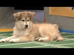 Puppy Bowl 2013 #animal planet #insight real-life bside. While the SuperBowl happens, there´s this alternative streaming... the Puppy Bowl. The annual Super Bowl counter-programming, which has now inspired counter-programming of its own on other cable channels, will this year include penguin cheerleaders, more sponsors and a VIP lounge area for cats.