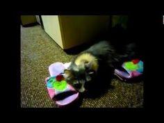У кошек тапкомания