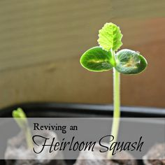 Reviving an heirloom squash