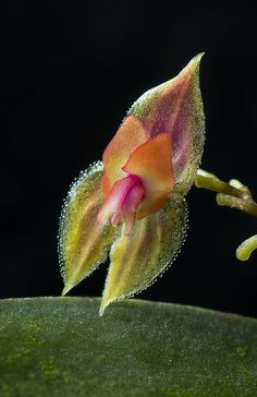 Lepanthes species - From Peru - Flickr - Photo Sharing!