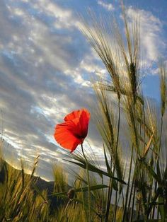 A poppy and streaky clouds. Flower Pictures, Nature Pictures, Beautiful Pictures, Dame Nature, Flower Power, Wild Flowers, Planting Flowers, Beautiful Flowers, Poppies