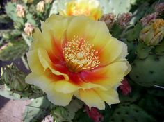 Images For > Prickly Pear Cactus Flower Drawing