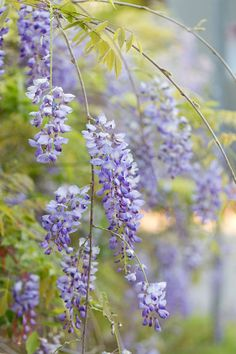 Wisteria Photo Wisteria Art Purple Flower Photo Pretty