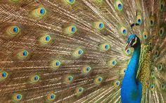 Peacock Wallpaper, New Wallpaper Hd, Animal Wallpaper, Wallpaper Borders, Beautiful Bird Wallpaper, Beautiful Birds, Animals Beautiful, Twitter Cover Photo, Peacock Photos