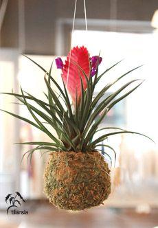 Kokedama Tilansia « Plantapolis