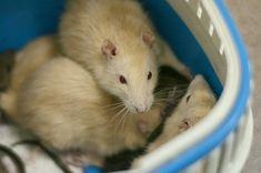СПАСЕНЫ! Кто-то выпустил крыс рядом с кафе. Они обустроили там норки, но в них налили ядовитую пену. Спасены 29 крыс (дикие декорашки и пасюки). Сейчас они проходят лечение и социализацию. В дальнейшем им очень требуется дом. #крыса #крысы #animals #animalphotography #ratinstagram #lovelyrat #rat #rats #ratsofinstagram #ratsofinsta #petrat #ratpost #animalsofinstagram #фотосет