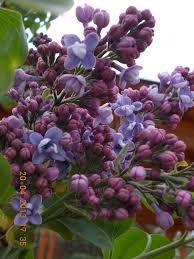 Imagini pentru soiuri de liliac de gradina Plants, Plant, Planets