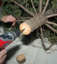 """Drilling a 1/4"""" diameter hole up the center of the tree trunk will help it soak up much more water, keeping it fresher longer"""