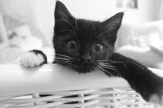 A un gato negro Cuando tus ojos negros me miraron, por primera vez a mí, me recordaron a un gato...