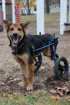 """When a woman found a paralyzed dog in Thailand and the Internet helped her buy a new doggie wheelchair for the pup. She eventually adopted """"Leo"""" and brought him home to Sarnia, Ontario. Cute Puppies, Dogs And Puppies, Cute Dogs, Doggies, Leo, Rescue Dogs, Animal Rescue, Paralyzed Dog, Thailand"""
