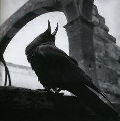 Crow #raven queen