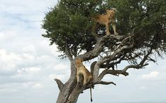 """""""Two lions in a tree in Kenya's Masai Mara, giving new meaning to striking a pose."""" —Nathan Lump, Editor"""