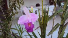 Orquidea de chão lilas