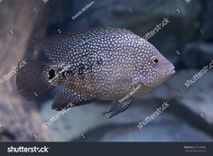 This image was sold today @ Shutterstock Texas cichlid (Herichthys cyanoguttatus) https://www.shutterstock.com/da/image-photo/texas-cichlid-herichthys-cyanoguttatus-257229466