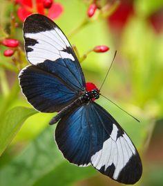 Sapho Longwing  Butterfly by Sajai Lehtonen