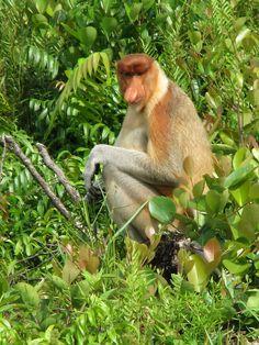 Mono narigudo (Nasalis larvatus), primate endémico de Borneo, muy amenazado, inconfundible por su nariz