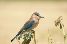 The Indian Roller Bird by Jasmin Sajna on 500px