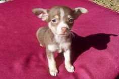 Juniper is an adoptable Chihuahua Dog in Ocala, FL. What a darling tiny baby we have here. This adorable purebred Chihuahua came from a pretty bad situation. Her dad was three pounds and her mom was s...