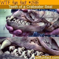 Teeth Of A Crabeater Seal
