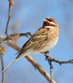 Pine Bunting (Emberiza leucocephalos) A bird perched.