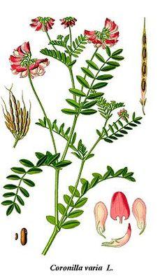 Cleaned-Illustration Coronilla varia.jpg