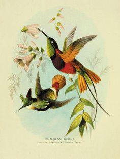 Hummingbirds art antique prints Bird art Nature by AntiqueWallArt, $20.00